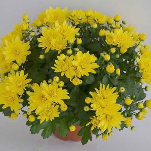 Chrysanthemum Bola