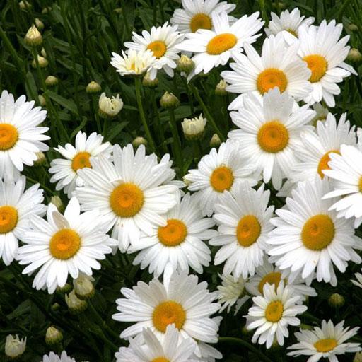 Chrysanthemun Leucanthemum